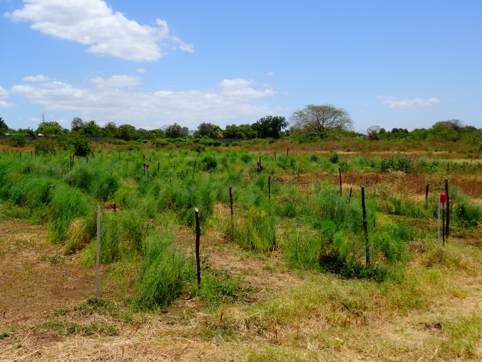 Asparagus Research Project in Nicaragua